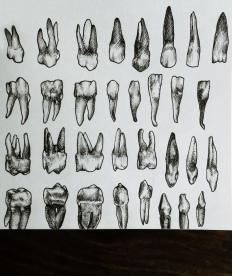 medical illustration sketches - teeth