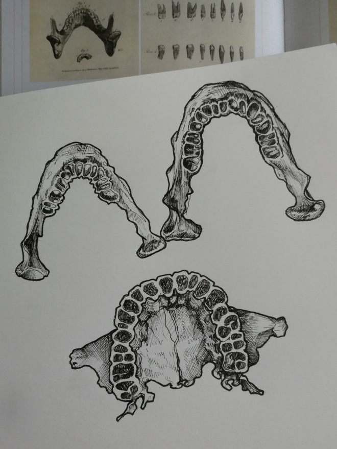 Medical illustration sketches - upper and lower jaw